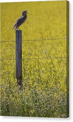 Meadowlark Singing Canvas Print by Randall Nyhof
