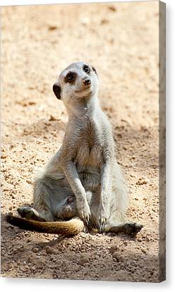 Meerkat Canvas Print by Fabrizio Troiani