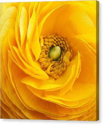 Mellow Yellow Canvas Print by Kathy Yates