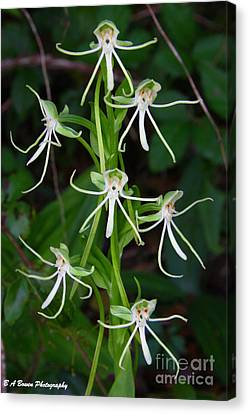 Michaux Orchid Canvas Print by Barbara Bowen