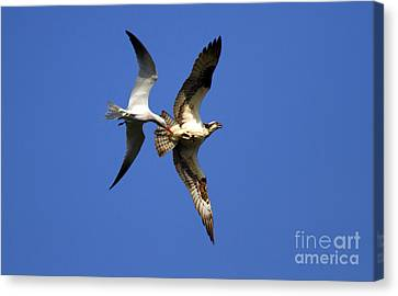 Mid-air Attack Canvas Print by Mike  Dawson