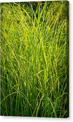 Midwest Prairie Grasses Canvas Print by Steve Gadomski