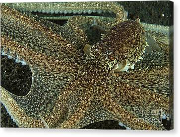 Mimic Octopus With Arms Spread Out Canvas Print by Mathieu Meur