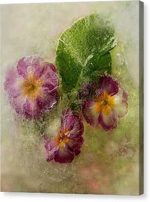 Primrose Canvas Print by Carmen Moise