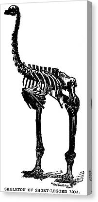 Moa Skeleton Canvas Print by Granger