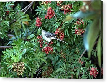 Mocking Bird Canvas Print by Virginia Hagerty
