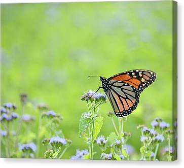 Monarch And Mist Canvas Print by JD Grimes