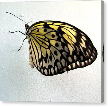 Monarch Butterflie Canvas Print by Joyce Woodhouse