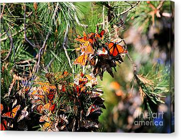 Monarch Butterfly Gathering Canvas Print by Tap  On Photo