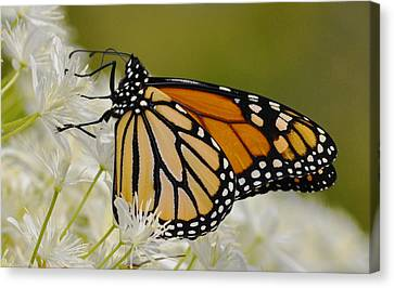 Monarch  Canvas Print by Rodney Campbell