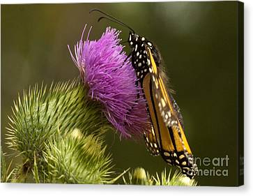 Monarch Thistle Munching Canvas Print by Darleen Stry