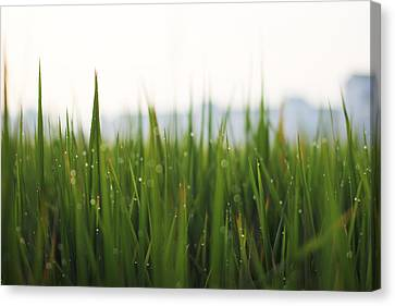 Morning Dews Canvas Print by @mr.jerry