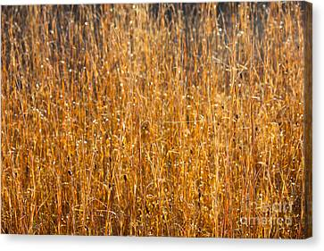 Morning Sunshine On The Marsh Canvas Print by Carol Groenen