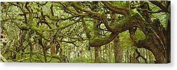 Moss-covered Trees Canvas Print by David Nunuk