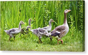 Mother Goose Leading Goslings Canvas Print by Simon Bratt Photography LRPS