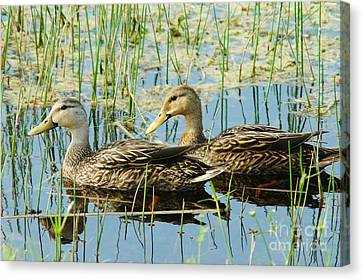Mottled Duck Pair Canvas Print by Lynda Dawson-Youngclaus