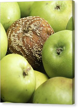 Mouldy Apple Canvas Print by Sheila Terry