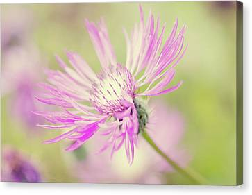 Mountain Cornflower Pink Canvas Print by Leentje photography by Helaine Weide