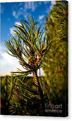 Mugo Pine Branch Canvas Print by Terry Elniski