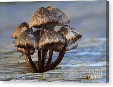 Mushroom Cluster Canvas Print by Bob Christopher