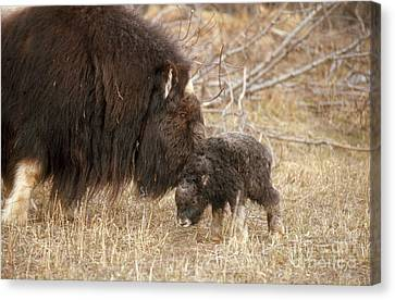 Musk Ox Cow And New Calf Canvas Print by Joseph Rychetnik