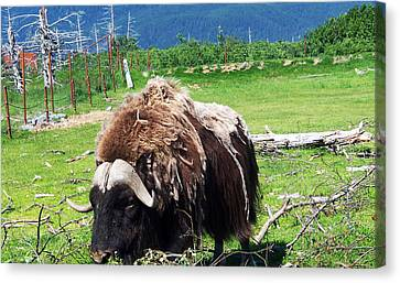 Musk Oxen Canvas Print by Aimee L Maher Photography and Art Visit ALMGallerydotcom