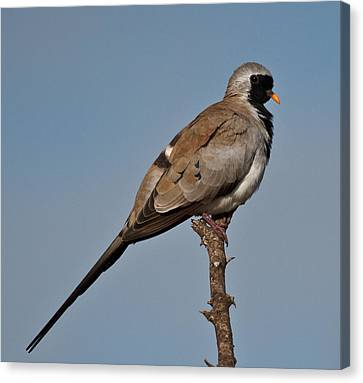 Namaqua Dove Canvas Print by Annette Naude