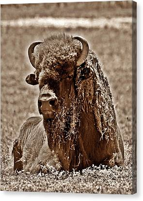 Napping Bison Canvas Print by Monica Wheelus