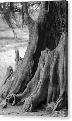 Natural Cypress Canvas Print by Carolyn Marshall