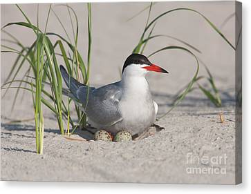 Nesting Common Tern Canvas Print by Clarence Holmes