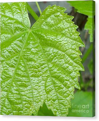 New Grape Leaf Macro Canvas Print by Padre Art