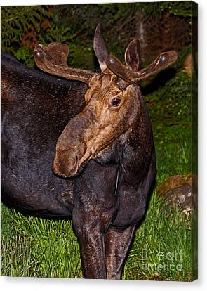 Night Moose 1 Canvas Print by Lloyd Alexander