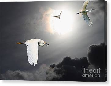 Night Of The White Egrets Canvas Print by Wingsdomain Art and Photography