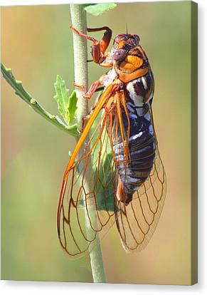 Noisy Cicada Canvas Print by Shane Bechler
