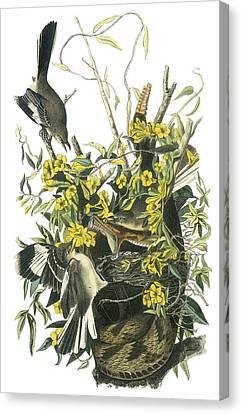 Northern Mockingbird Canvas Print by John James Audubon