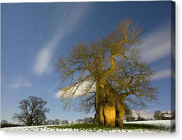 Oak (quercus Robur) Canvas Print by Bob Gibbons