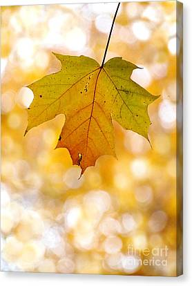 October Maple Leaf Canvas Print by Angie Rea