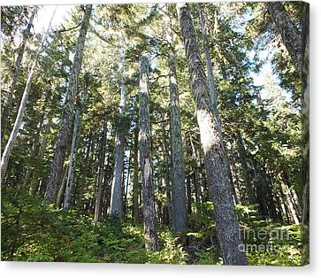 Old Growth Forest Canvas Print by Shannon Ireland