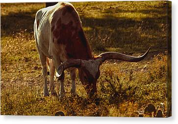 Older Texas Long Horn  Canvas Print by Kelly Rader
