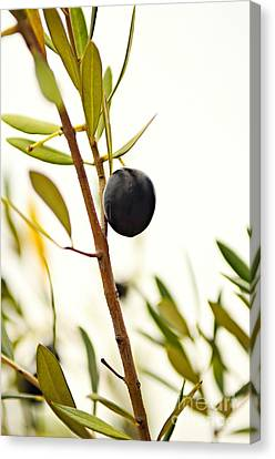 Olive Branch Canvas Print by Dean Harte