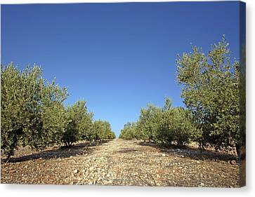 Olive Grove Canvas Print by Carlos Dominguez