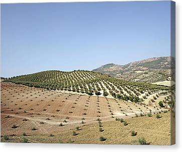 Olive Groves Canvas Print by Carlos Dominguez
