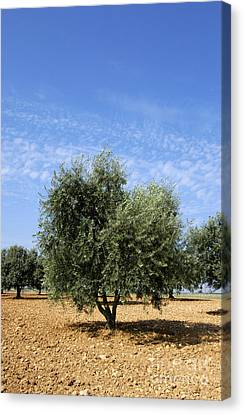 Olive Tree In Provence Canvas Print by Bernard Jaubert