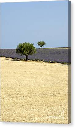 Olive Trees. Provence Canvas Print by Bernard Jaubert