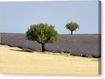 Olives Tree In Provence Canvas Print by Bernard Jaubert