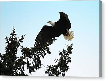 Olympic Bald Eagle Canvas Print by David Yunker