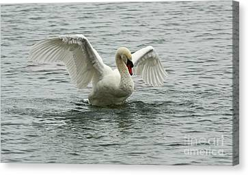 On The Wings Of A Swan Canvas Print by Inspired Nature Photography Fine Art Photography