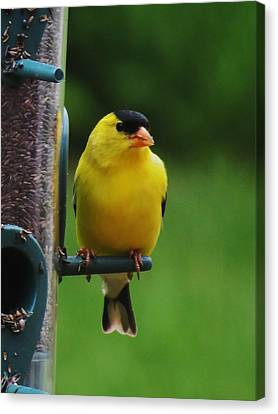 One Finch Canvas Print by Vijay Sharon Govender