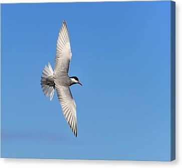 One Good Tern Deserves Another Canvas Print by Tony Beck