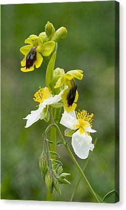 Ophrys Lutea And Helianthemum Apenninum Canvas Print by Bob Gibbons